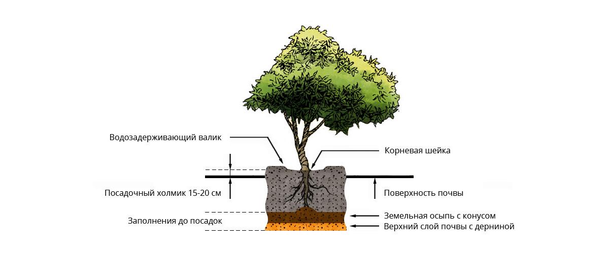 Посадка саженцев с открытой корневой системой