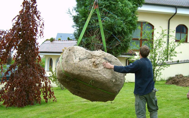 Посадка крупномерных деревьев - процесс